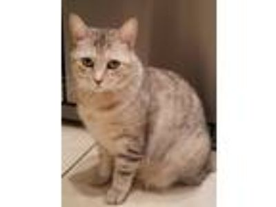Adopt Mama a Gray, Blue or Silver Tabby Domestic Mediumhair / Mixed cat in