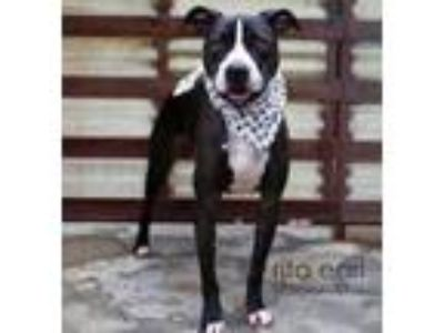 Adopt Sweet Chance a American Staffordshire Terrier, Border Collie