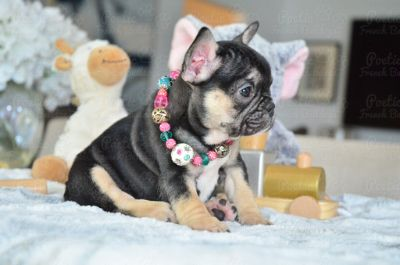 French Bulldog PUPPY FOR SALE ADN-95320 - Black and Tan Female Pumpkin