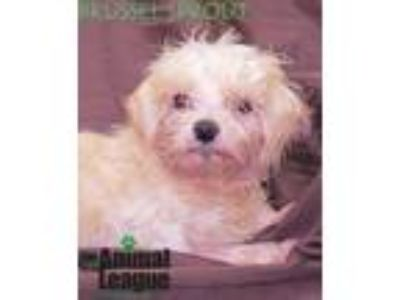 Adopt Brussel Sprout a Miniature Poodle