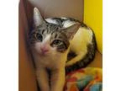 Adopt Mustard a Domestic Short Hair