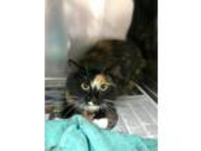 Adopt Pound Cake a Tortoiseshell Domestic Longhair (long coat) cat in Concord