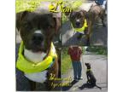 Adopt Dion a Boxer
