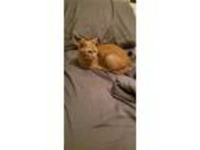 Adopt Peach a Orange or Red Domestic Shorthair cat in Ofallon, MO (25309801)