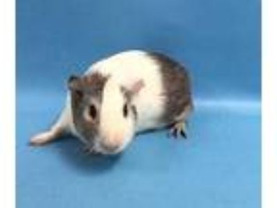 Adopt Lavigne a White Guinea Pig / Guinea Pig / Mixed small animal in St.