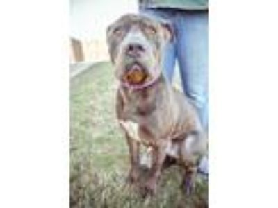 Adopt Beluga a American Staffordshire Terrier, Pit Bull Terrier