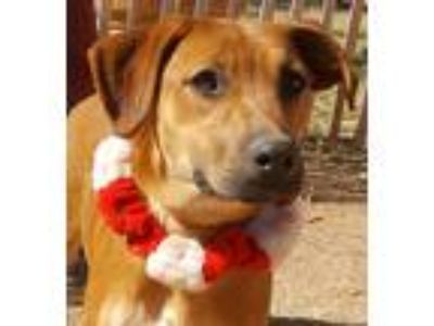 Adopt DAWN a Red/Golden/Orange/Chestnut Labrador Retriever / Hound (Unknown