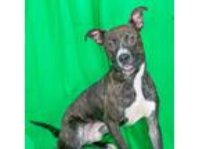 Adopt Oreo a Brindle American Pit Bull Terrier / Mixed dog in Spartanburg