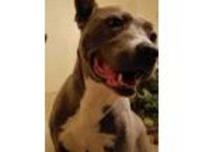Adopt Zola a Gray/Blue/Silver/Salt & Pepper American Pit Bull Terrier / Akita /