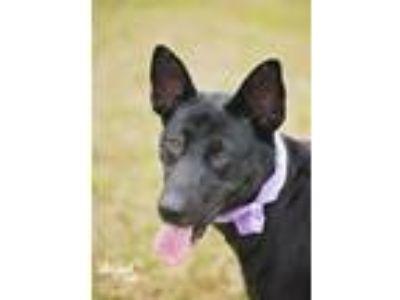 Adopt Annabelle a German Shepherd Dog, Husky