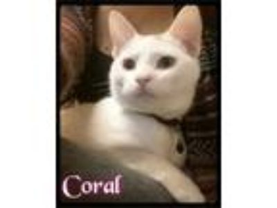 Adopt Coral - Foster / 2015 a Domestic Short Hair