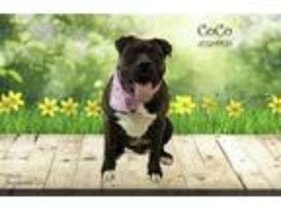 Adopt Dog a Brindle - with White American Pit Bull Terrier / Boxer / Mixed dog
