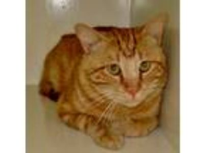Adopt Loki a Orange or Red (Mostly) Domestic Shorthair (short coat) cat in