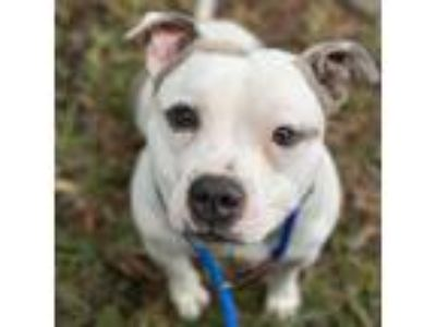 Adopt Tyson a White Pit Bull Terrier / Mixed dog in Oakland, CA (25312630)