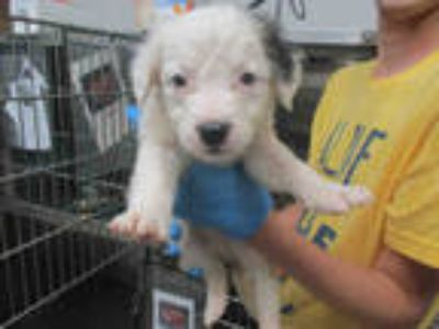 Adopt a White - with Gray or Silver German Shepherd Dog / Labrador Retriever /