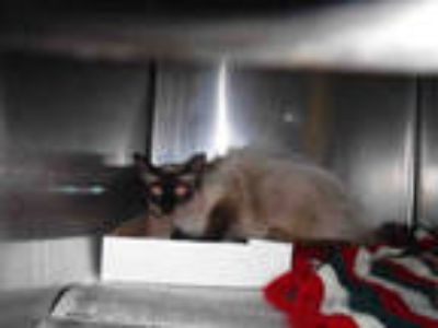 Adopt a Brown or Chocolate Siamese / Mixed (short coat) cat in Long Beach