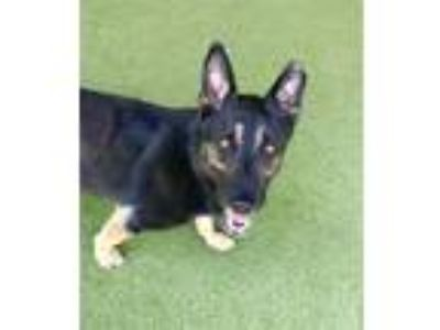 Adopt Simon a German Shepherd Dog / Mixed dog in Birmingham, AL (25574737)