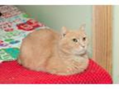 Adopt Buff a Orange or Red Domestic Shorthair (short coat) cat in Chicago