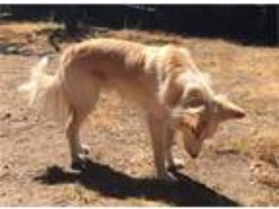 Golden Retriever Border Collie Dog For Adoption in Los Angeles CA
