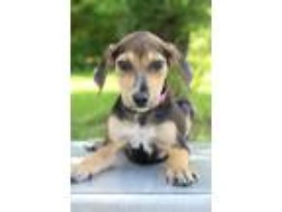 Adopt Paula a Tricolor (Tan/Brown & Black & White) Shepherd (Unknown Type) /