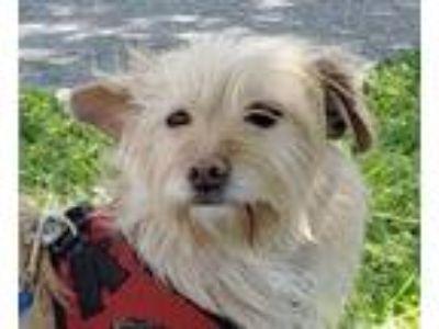 Adopt Deeogee a Cairn Terrier, Terrier