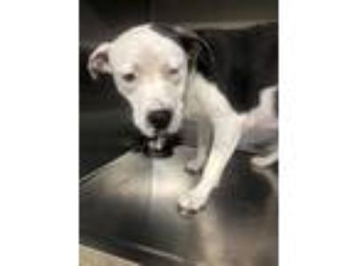 Adopt Harley a White American Pit Bull Terrier / Mixed dog in Fort Worth
