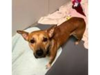Adopt Hannah a Tan/Yellow/Fawn - with Black Black Mouth Cur / German Shepherd