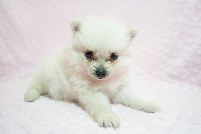 Gorgeous Pomeranian puppies!