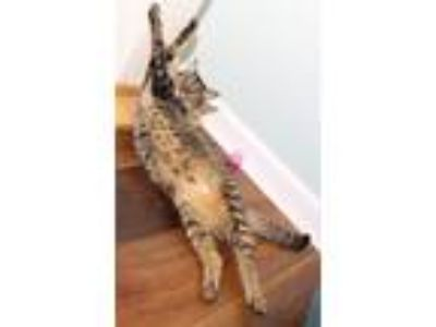 Adopt Iris a Brown Tabby Domestic Shorthair (short coat) cat in Charlotte