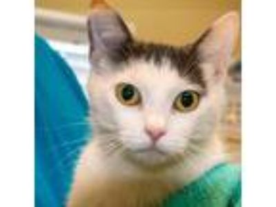 Adopt Detrice a Domestic Short Hair