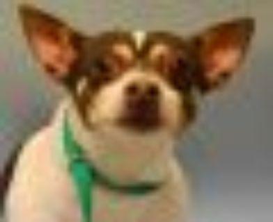 Mylo Chihuahua - Rat Terrier Dog