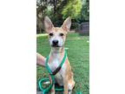 Adopt Willa a Tan/Yellow/Fawn - with White Whippet / Mixed Breed (Small) / Mixed