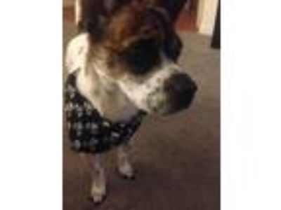 Adopt Hypno a White - with Brown or Chocolate Jack Russell Terrier / Mixed dog