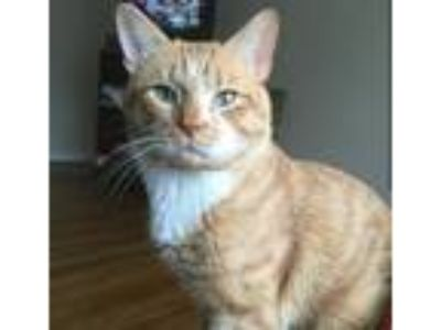 Adopt Carmel a Orange or Red Tabby American Shorthair / Mixed cat in Silver