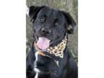 Adopt Sammy a Labrador Retriever