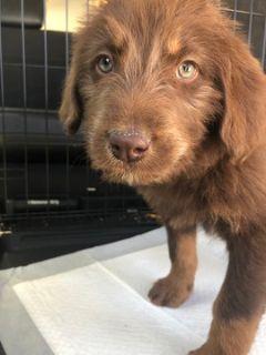 Labradoodle PUPPY FOR SALE ADN-95175 - F1b MultiGen Labradoodle Puppy