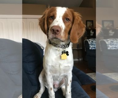 Brittany PUPPY FOR SALE ADN-130448 - Brittany spaniel pup for sale