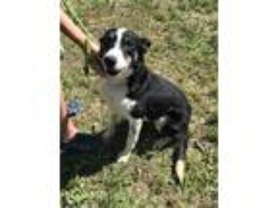 Adopt ROSEMARY a Black - with White Border Collie / Mixed dog in Chico