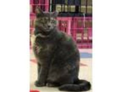 Adopt Phoenix a Domestic Short Hair