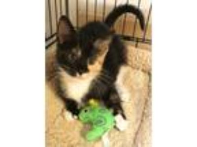 Adopt KitKat a Tortoiseshell Calico (medium coat) cat in Lumberton