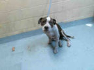 Adopt TOKKEN a Brindle - with White American Pit Bull Terrier / Mixed dog in