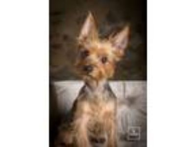 Adopt Foxy a Yorkshire Terrier