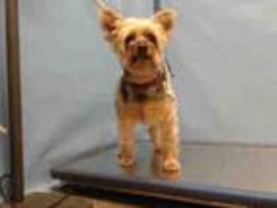Adopt FRANKLIN a Yorkshire Terrier