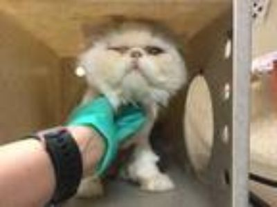 Adopt Cat a White (Mostly) Persian / Mixed (long coat) cat in Jurupa Valley