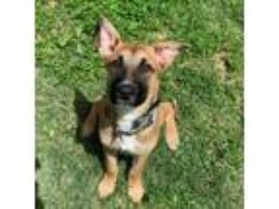 Adopt Chevy a Tan/Yellow/Fawn - with Black German Shepherd Dog / Mixed dog in St