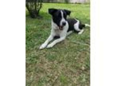 Adopt Bella a White - with Black Dalmatian / Labrador Retriever / Mixed dog in
