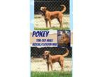 Adopt Pokey a Tan/Yellow/Fawn Australian Shepherd / Golden Retriever / Mixed dog