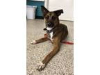 Adopt Satine a Tricolor (Tan/Brown & Black & White) German Shepherd Dog / Mixed