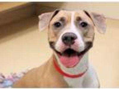 Adopt Bass a Tan/Yellow/Fawn American Pit Bull Terrier / Mixed dog in Chicago