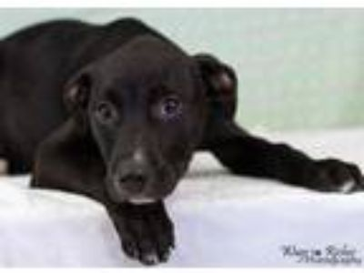 Adopt GI#15-apr19 a Black Labrador Retriever / Mixed dog in Gadsden